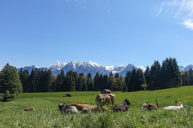 Typisch Bayern - saftige Wiesen, Bergpanorama und Kühe mit dicken Glocken