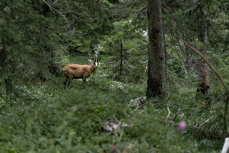 im Wald sind so einige Gämse unterwegs und diese hier sprang uns quasi vor die Füße