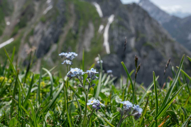 Bergblumen ohne Ende - für die unzähligen Gämse reichte der Zoom nicht