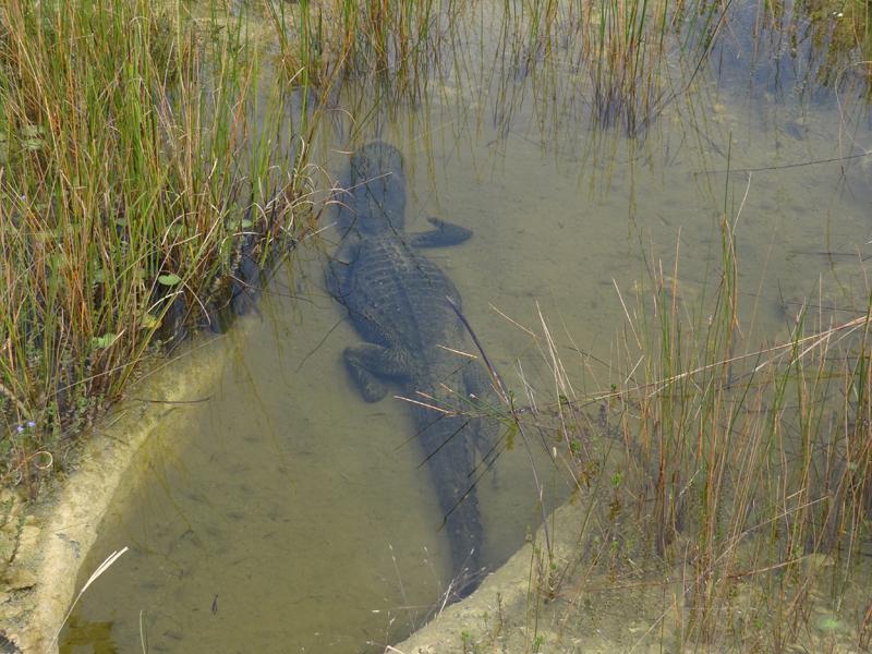 sharkvalley_aligatorimwasser